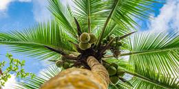 Don't park under coconut trees